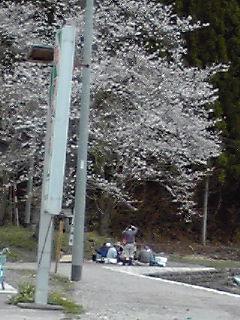 桜満開あり