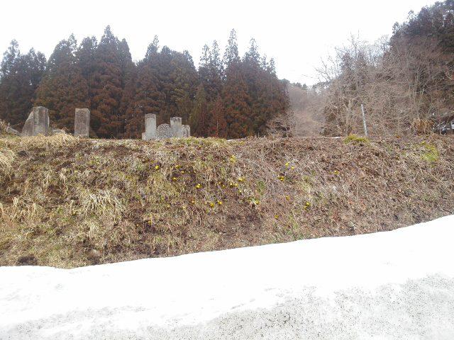 中小屋の福寿草